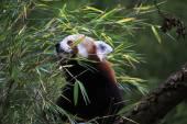 Red panda. — Stock Photo