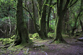 Relict forest in the Torc Mountain. — Stock Photo