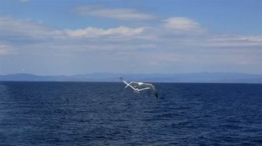 Seagulls flying over the sea. Northern Greece. — Stock Video