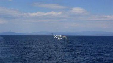 Måsarna flyger över havet. Norra Grekland. — Stockvideo