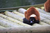 Rode vari lemur. — Stockfoto