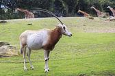 Scimitar horned oryx. — Stock Photo