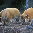 Red River Hog. — Stock Photo #59729887