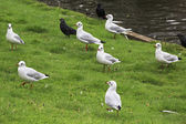 Black headed gull. — Stock Photo