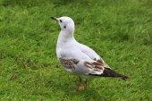 Black headed gull. — Stock Photo