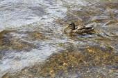 Wild duck on the lake. — Stock Photo