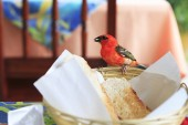 Male Red fody eats bread from the plate. — Stock Photo