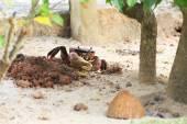 Land crab sitting near its burrow. — Stock Photo