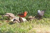 Peaceful dove and Red fody. — Stock Photo
