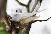 White tern incubates the egg on a tree branch. — Stock Photo