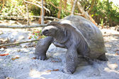 Aldabra giant tortoise in island Curieuse. — Stock Photo
