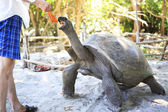 Aldabra giant tortoise reaching for the leaves in hand of tourist. — Stock Photo