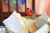 Male Red fody sitting on a plate with bread. — Stock Photo