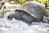 Aldabra giant tortoise eats leaves. — Stock Photo