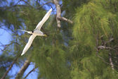 White-tailed tropicbird flies on wood background. — Stock Photo