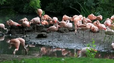 Chilean flamingo. Oldest zoos in Europe. Republic of Ireland. — Stock Video