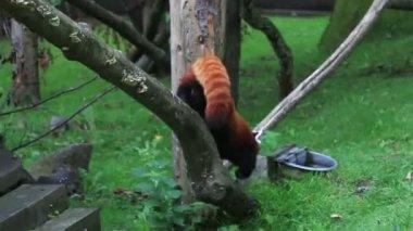 Red panda. — Stock Video