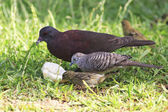 Peaceful dove, Malagasy turtle dove and Red fody. — Stock Photo