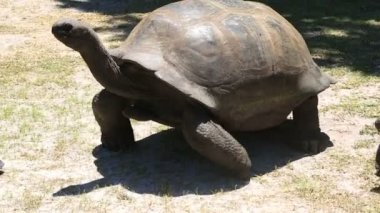 Aldabra giant tortoise goes to the tourist — Stock Video