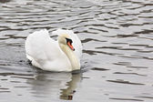 White Swans. Pond in the Moscow zoo. — Stock Photo