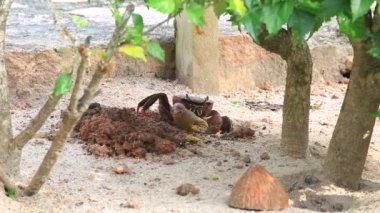 Land crab crawls into his hole. — Stockvideo