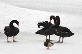 Black Swans. Pond in the Moscow zoo. — Stock Photo