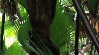 Coco de mer male flower tree. — Stock Video