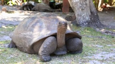 Aldabra giant tortoise — Stock Video