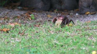 Land crab eating grass. — Stock Video