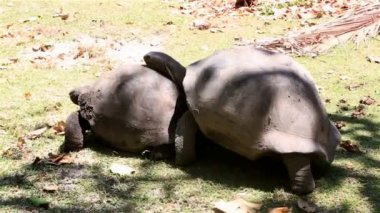 Male courts the female Aldabra giant tortoise — Stock Video