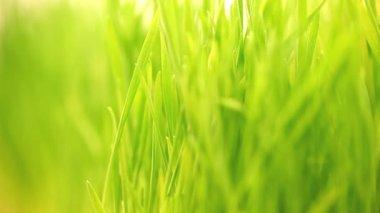 Fundo verde brilhante da grama. — Vídeo stock