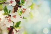 Sakura, cherry blossom — Stock Photo