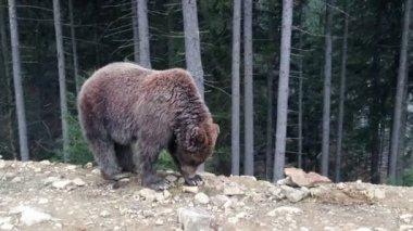 Carpathian bear — Stock Video