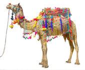 Camello con decoración tradicional — Foto de Stock