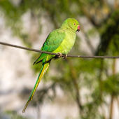 Green Ringnecked Parakeet parrot — Stock Photo