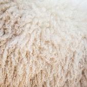 Sheep wool background — Stock Photo