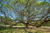 Giant tree in Thailand. — Stock Photo