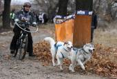 Saně dogs — Stock fotografie