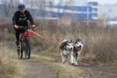 Perros de trineo — Foto de Stock