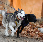 Sled dogs — Stock Photo
