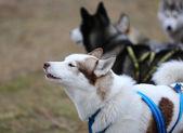 Husky sled dogs — Stock Photo