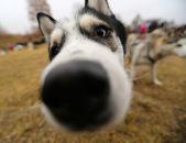 ハスキーそり犬 — ストック写真