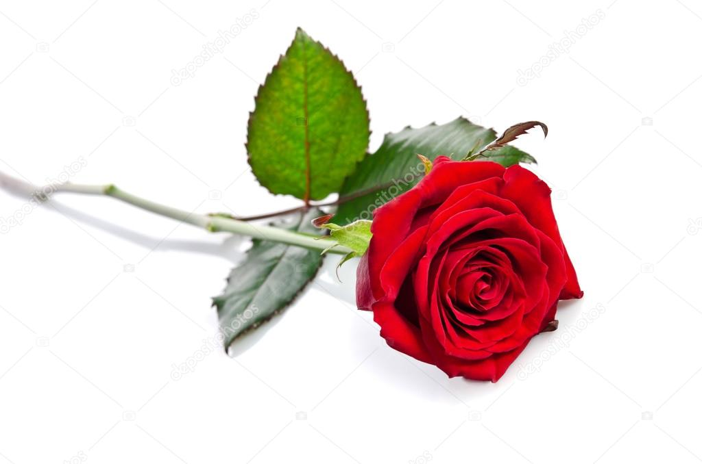 88 Down 88 A Month >> Beautiful single red rose lying down on a white background ...