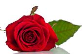 Beautiful single red rose lying down on a white background — Stock Photo
