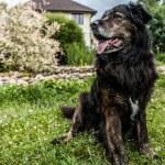Big black dog rests outdoors. Security sentry Caucasian sheep-dog. — Stock Photo #77235242