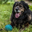 Big black dog rests outdoors with toy ball. Security sentry Caucasian sheep-dog. — Stock Photo #77235878