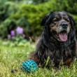 Big black dog rests outdoors with toy ball. Security sentry Caucasian sheep-dog. — Stock Photo #77236766