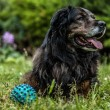 Big black dog rests outdoors with toy ball. Security sentry Caucasian sheep-dog. — Stock Photo #77236836