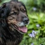 Big black dog rests outdoors. Security sentry Caucasian sheep-dog. — Stock Photo #77237184