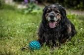 Grote zwarte hond ligt buiten met speelgoed bal. Veiligheid schildwacht Kaukasische schapen-hond. — Stockfoto